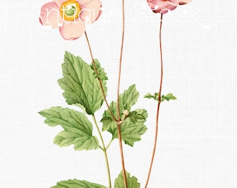 Pink Anemone Flowers Clipart 'Pink Windflowers' Botanical Illustration Digital Download Image for Invitations, Crafts, Collages...