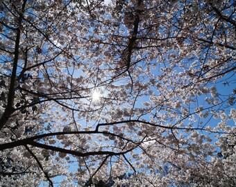 Under the Cover of Sakura