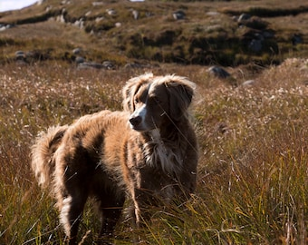 Irish Collie Dog in Donegal, Irish setter, Dog photography