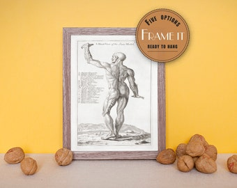Vintage illustration of a male figure with musculature delineated - fine art print, art of human anatomy, home decor, FREE SHIPPING, 161