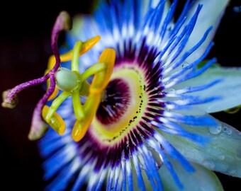 Passion Flower - Passiflora Cerulean Blue (Digital Download)