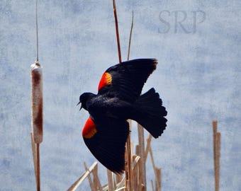 Tilt-A-Whirl - PHOTO PRINT - Red-Winged Blackbird