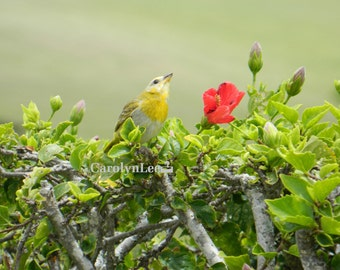 Bird on Hibiscus