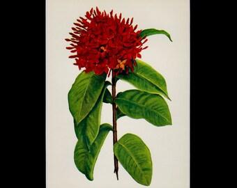 "MATTED Vintage Hawaiian Flower Print - ""Ixora"" c. 1938 - Vintage Botanical Book Plate - Cottage Decor - Matted Floral Print"