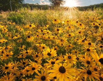 Backyard Beauty, Wildflowers, Black Eyed Susans, Sunshine, Happy, Spring, Summer, Field of Flowers - Travel Photography, Print, Wall Art