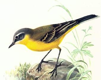 1969 Yellow Wagtail, vintage Bird Print, Ornithology, Natural history, nature wall art