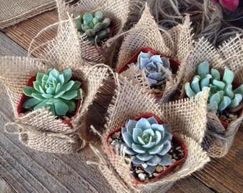 """Succulent Favors Assorted Collection. 30 Premium Succulents in 2"""" pots Wrapped in Burlap - La Fleur Succulente"""