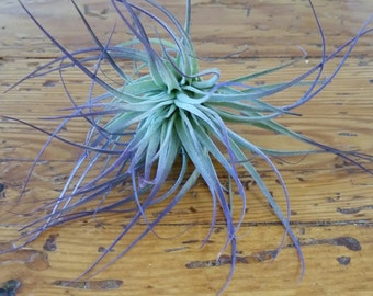 Air Plant , Purple Houston , Tillandsia , Bromeliad , Air Plant Decor