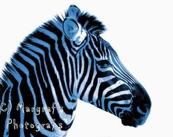 Blue Zebra Photography print, 8X10 boy zebra print, boy blue zebra print