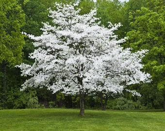 5 for 16.99 sale! 2 to 3 feet White Flowering Dogwood Trees