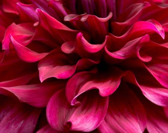 Dahlia Flower Photography