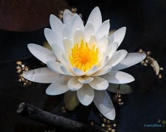 Waterlily - Giclee' Print on Watercolor Paper