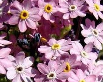 Forget Me Not- Chinese Pink- 100 Seeds