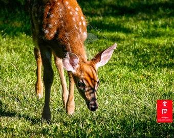 Fawn art prints | forest baby animal | wildlife photography | animal photography | photography nature | cottage art | deer fawn art print