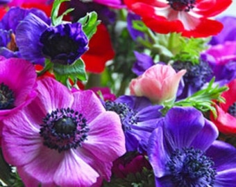 40+ Anemone Decaen Mix / Perennial Flower Seeds