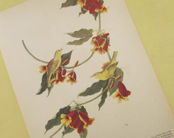 Vintage Bird Illustration - Audubon Book Plate - Yellow Warbler