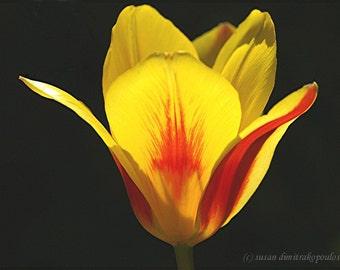 Tulip - Splash - fine art print photograph, wall art, gift 20, home office decor, spring flower, garden, yellow, red, paint, black, sun