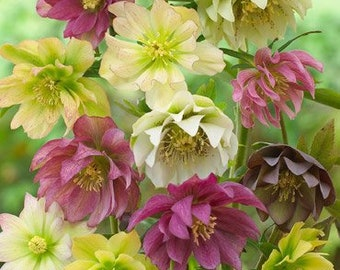 Double Queen Hellebores