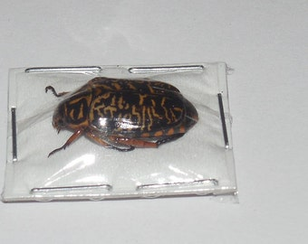 MELOLONTHINAE SP 01 Scarabaeidae Real InsectTaxidermy Indonesia