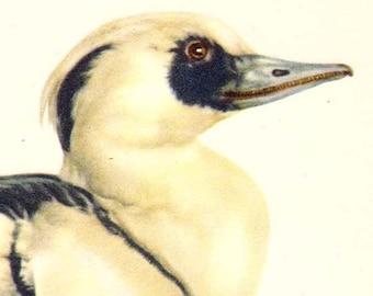 Smew Mergus Albellus Duck Bird Ornithology Natural History Lithograph Print 1960s Illustration To Frame 72