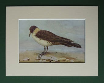 1930s Antique Matted Natural History Picture of a Pomarine Jaeger on a Beach by Ornithology Artist Allen W Seaby