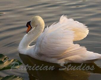 Mute Swan: On Swan Lake (MS102)