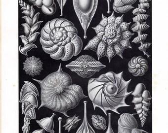 1899 Genuine Ernst Haeckel Print Thalamophora Marine Life Sea Kunstformen Natur 1st Pl 81 Nautical Art Antique Lithograph