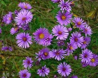 Aster- New England -100 Seeds