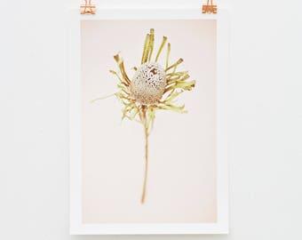 Protea print, photography art print, photography, A4 print, A3 print, Giclee print, South Africa, nature, Botanical print, dried flower