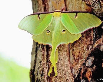Luna Moth, Fine photo Home Room Decor, Insect Photograph, Wall artwork, Lime Green Cottage Cabin Office as iPhone Samsung Case Québec Canada