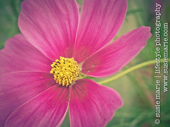 Pink cosmo flower cosmo pink flower macro nature photography mightylinksfo