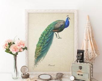 Peacock Botanical Print, Bird Print, Peacock Giclee, Vintage Natural History Print, Peacock Art, Decorative Peacock Art Print, Peacock  B023