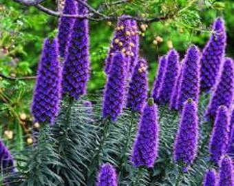Viper's Bugloss Seeds, Tree Echium, Mixed Colors, Pattersons Curse, Pateroi, Large Variety