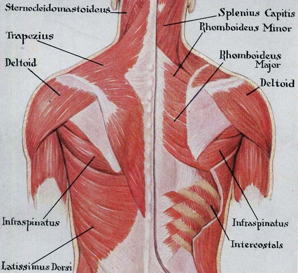 Muscles of the back selol ink muscles ccuart
