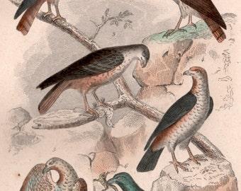 1835 Buffon Antique Print, Birds Engraving, Birds Illustration, Bird of Prey Print, Harrier, Hawk, Sparrowhawk, Falcon, Vintage Art Print
