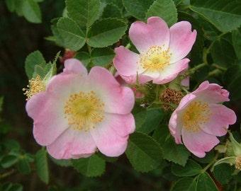 Rosa eglanteria Sweet Briar Rose 15 seeds