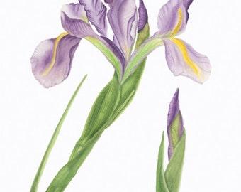 Iris/BOTANICAL ILLUSTRATION/Giclee Archival Print/Flower/Purple,Green