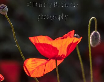 Flowers Photography, Nature Photography, Poppy Flower Photo, Nature Wall Art, Nature Photo, Canvas Prints, Home Decor