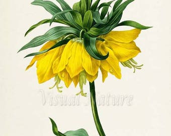 Crown imperial fritillary Flower Art Print, Botanical Art Print, Wall Art, Flower Print, Floral ,Redoute,yellow,green,Fritillaria imperialis