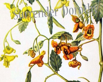 Touch Me Not  Jewel Weed Flowers Vintage Botanical Lithograph 1950s Art Print To Frame 106