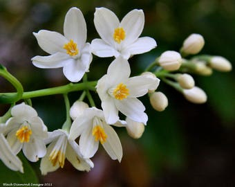 Fragrant Snowbell   Styrax obassia   6 Seeds