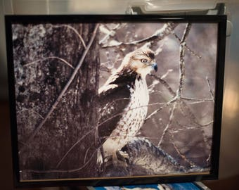 Red Tailed Hawk Framed Photo