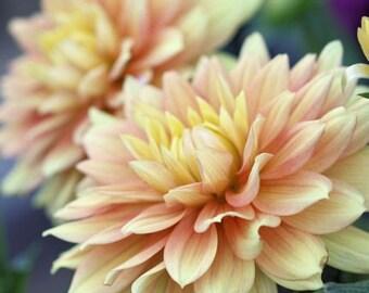Murmurs - 8x10 Fine Art Floral Photograph - Pale Peach and Yellow Dahlias
