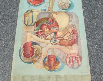 Vintage 1940s Medical School Anatomy Wall Chart Large Poster Digestive Medicine Oddity