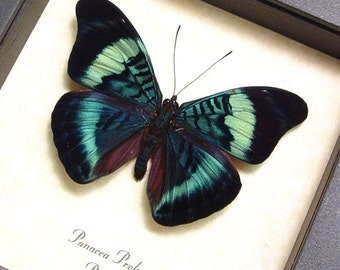 Dad's & Grad's Gift Panacea Prola Real Butterfly Conservation Framed Insects 156