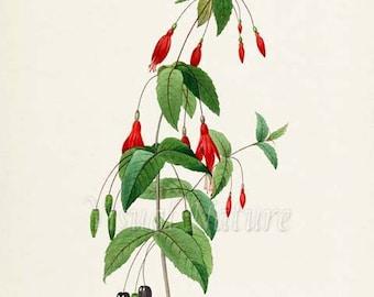 Fuchsia coccinea Flower Art Print, Botanical Art Print, Flower Wall Art, Flower Print, Floral Print, Redoute, red, green, Fuchsia coccinea