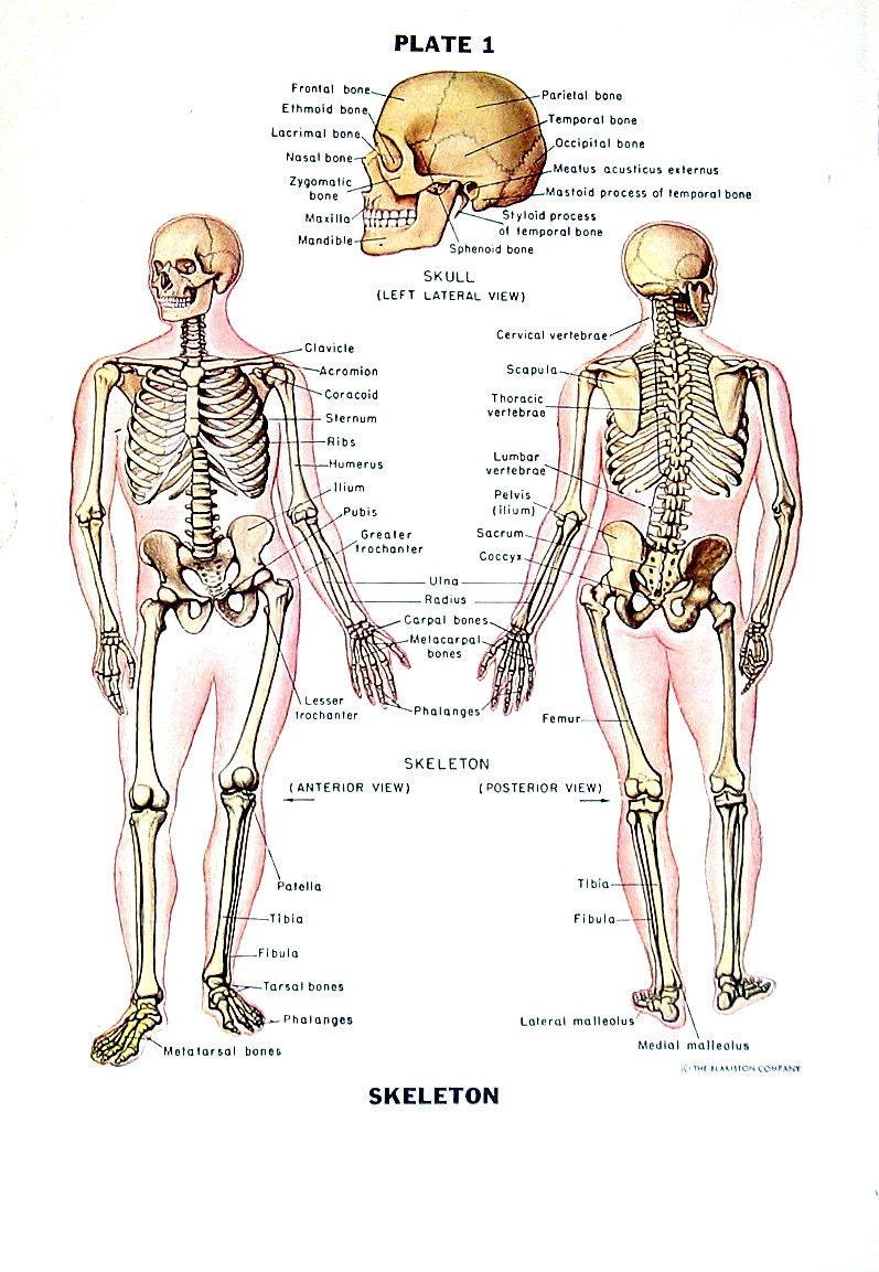 Menschliches Skelett Anatomie des Menschen-Diagramm 1949