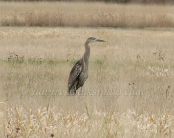 Heron in Field Nature Photograph Winter Bird Watching Standing Great Blue Heron