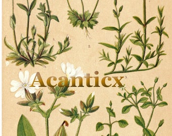 AC10009 Antique original lithography 1918 garden flowers herbs flora botany field chickweed, campion, whitlowgrass chromolithography