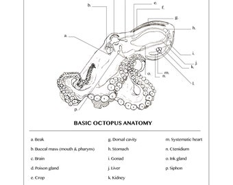 Octopus Anatomy
